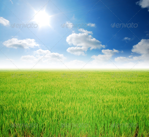 Rice field green grass blue sky cloud cloudy landscape background - Stock Photo - Images