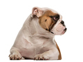 English Bulldog lying down and looking away, isolated on white