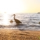 Black Heron On The Shore Of The Red Sea