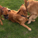 Dogs are Playing on Grass in Natural Park 4