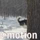 Siberian Husky Running In The Snow