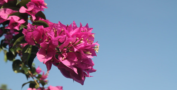 Bougainvillea and Blue Sky IV