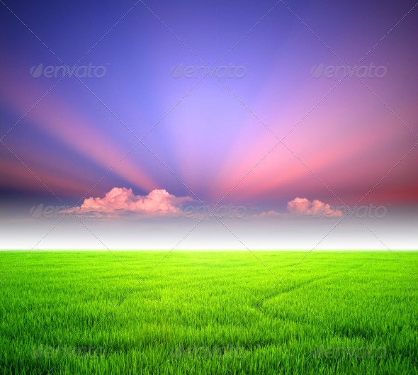 Rice sunset farm - Stock Photo - Images