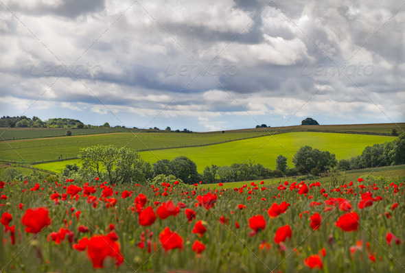 Hills in with field of poppies near Leafield, Cotswolds, UK - Stock Photo - Images