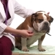 Doctor Does The Examination Of a Dog