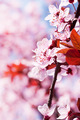 Spring cherry blossoms - PhotoDune Item for Sale