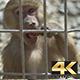 Little Monkey in Captivity