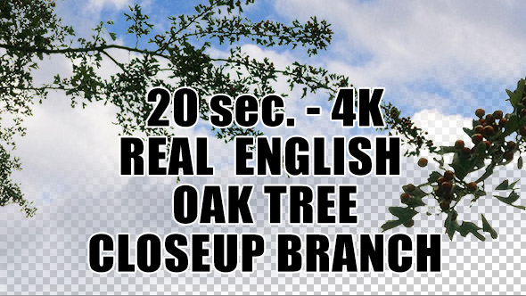 Real English Oak Tree Branch with Alpha Channel