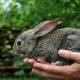 Rabbit. Animal In Man Hands