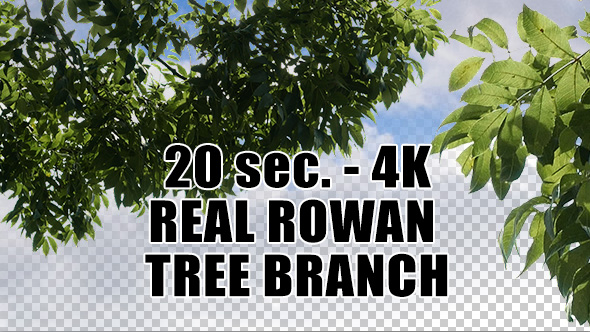 Real Rowan Tree Branch with Alpha Channel