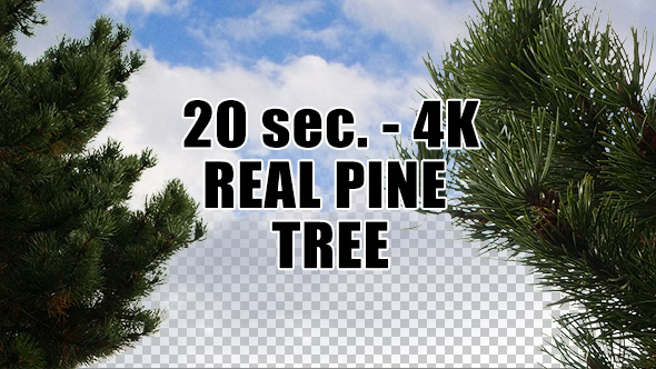 Real Pine Tree with Alpha Channel
