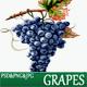 Grapes Watercolor Illustration