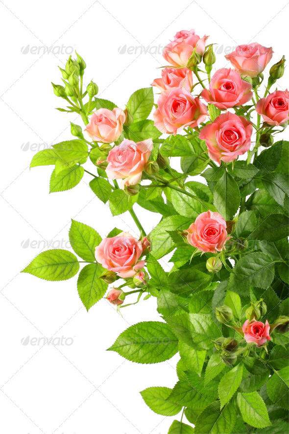 Bush with pink roses and green leafes - Stock Photo - Images