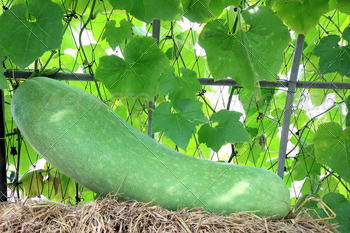 Wax gourd or Chalkumra or winter melon