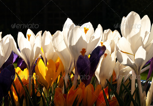 Spring Flowers - Crocus - Stock Photo - Images