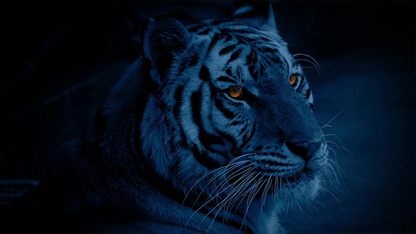 Tiger At Night With Glowing Eyes By Rockfordmedia Videohive
