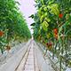 Greenhouse Tomatoes 3