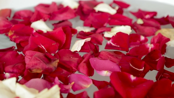 VideoHive Petals Of Red And White Roses Fall 15792874