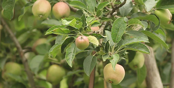 Apple Tree VideoHive Stock Footage  Nature 1579570