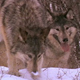 Wolves Tracking a Scent in Snow 2 - VideoHive Item for Sale