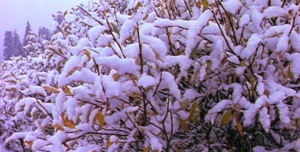 Shrubs Covered in Snow