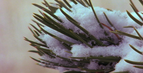 Snow on a Pine Branch