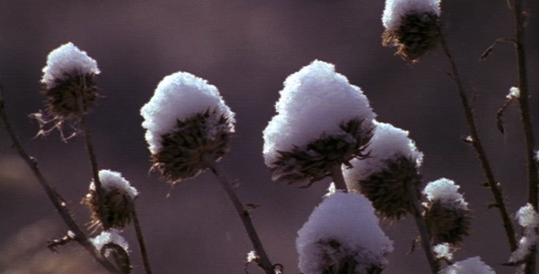 Snow Covered Dormant Flowers