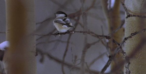 Chickadee in a Tree in Winter