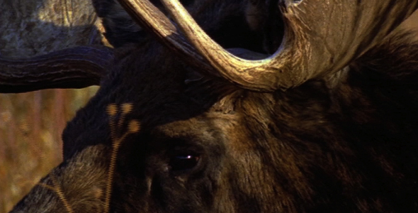 Close up of Bull Moose 4