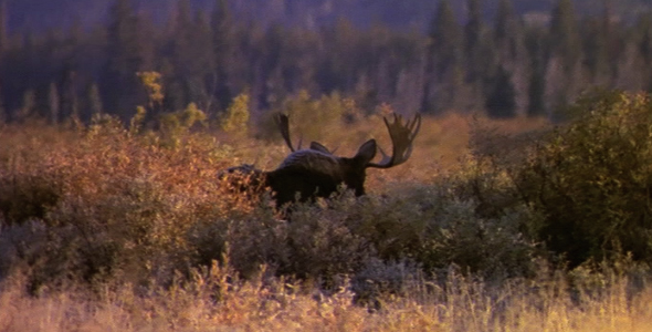 Bull Moose Walking Away