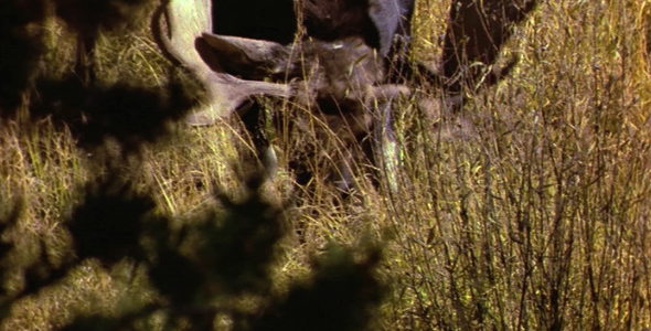 Bull Moose Lying Down