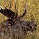 Bull Moose Standing Up