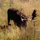Bull Moose Pawing at Ground 4