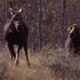 Cow Moose Chases Another Cow