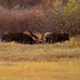 Two Bull Moose Fighting
