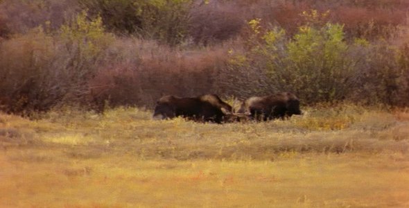 Two Bull Moose Fighting