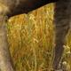 Female Moose Urinating