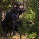 Moose Mating
