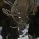 Two Bull Moose Fighting 2