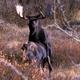 Moose Mating 3