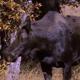 Moose Mating Behavior