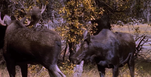 VideoHive Moose Mating Behavior 1582499
