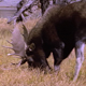 Bull Moose Scent
