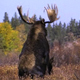 Moose Mating 4