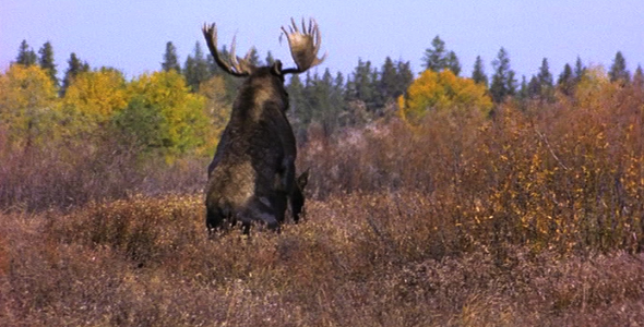 VideoHive Moose Mating 4 1582506