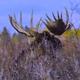 Moose Mating 5