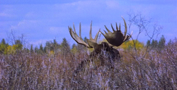 VideoHive Moose Mating 5 1582507