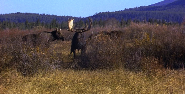 Bull Moose Attracting Two Cows