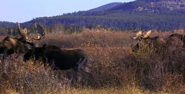 Herd of Moose 2