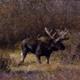 Herd of Moose 3